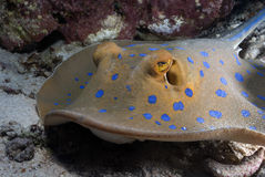 Bluespotted ribbontail ray. Very close photo of a Bluespotted ribbontail ray Stock Photography