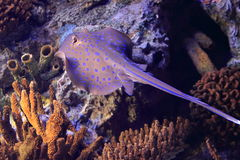 Bluespotted ribbontail ray Stock Images