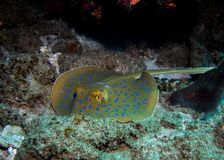 Bluespotted Ribbontail ray laying still on the reef. royalty free stock photos
