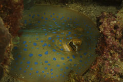 Bluespotted Ribbontail Ray, Perhentian Island, Terengganu Stock Photos