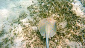 Bluespotted ribbontail ray Taeniura lymma, Egypt stock video