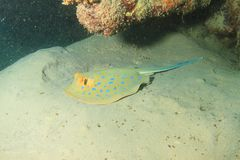 Blue spotted ray royalty free stock image