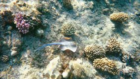 Bluespotted ribbontail ray (Taeniura lymma) stock footage