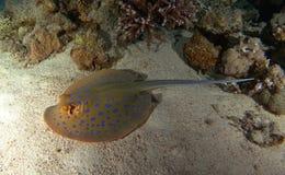 Bluespotted-Stechrochenschwimmen über dem Sand lizenzfreie stockfotografie