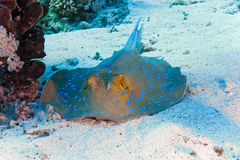 Bluespotted stingray royalty free stock images