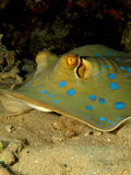 bluespotted stingray Royaltyfri Fotografi