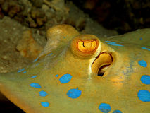 Bluespotted stingray Stock Images