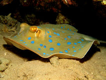Free Bluespotted Stingray Royalty Free Stock Images - 14888679