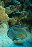 bluespotted stingray Arkivbilder