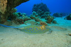 Bluespotted Stingray Lizenzfreies Stockbild