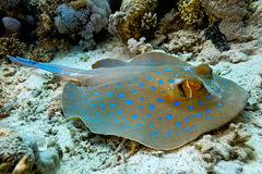 bluespotted stingray Arkivfoto