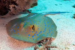 bluespotted stingray Zdjęcia Royalty Free