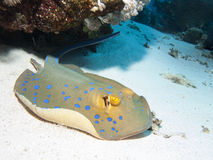 Free Bluespotted Stingray Stock Photo - 41319020