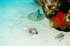 Bluespotted Stingray And Common Lionfish Royalty Free Stock Image