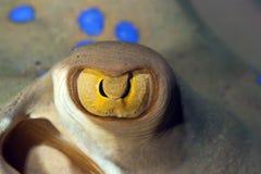 Bluespotted stingray close-up. Stock Image