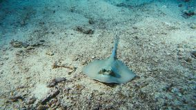 Bluespotted Stingray hidden in the sand royalty free stock images