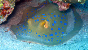 Bluespotted Stingray in the Red Sea Stock Photos