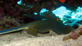 Bluespotted Stingray in the Red Sea Royalty Free Stock Photos