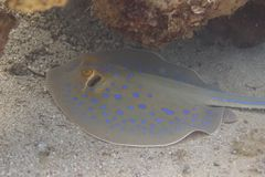 Bluespotted Stingray in Red Sea royalty free stock photography