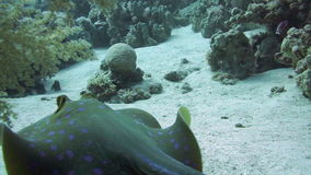 Bluespotted stingray in the Red Sea. stock video footage
