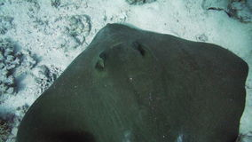 Bluespotted stingray in the Red Sea. stock video