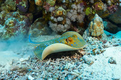 Bluespotted stingray Stock Photography