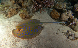 Bluespotted Stingray swim over the sand royalty free stock photography