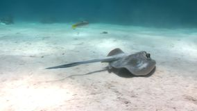 Bluespotted stingray Taeniura Lumma hiding in sand underwater Red sea. Relax video about marine animal on background of beautiful lagoon stock video