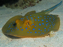 Bluespotted Stingray - Taeniura lymma. Resting on sand Royalty Free Stock Photography