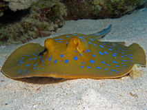 Bluespotted Stingray - Taeniura lymma stockfotos