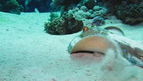 Bluespotted stingray Taeniura lymma on the sandy bottom of the Red Sea, Egypt. 4k stock video