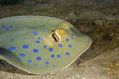 Bluespotted stingray (taeniura meyeni) Royalty Free Stock Photos