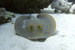 Bluespotted stingray. Close up picture of a blue spotted stingray, white sand, clear water Stock Photos
