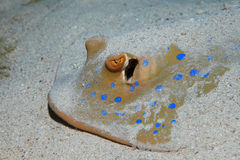 Bluespotted stingray Royalty Free Stock Photography