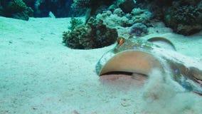 Bluespotted stingrockaTaeniura lymma på den sandiga botten av Röda havet, Egypten stock video