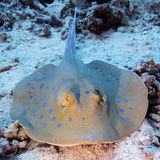 Bluespotted stråle (den Taeniura lymmaen) i det tropiska havet som är undervattens- arkivfoto