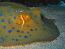 bluespotted strålribbontail Arkivbild