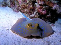 Bluespotted Stringray Immagine Stock