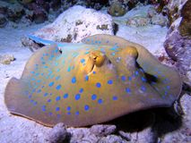 Bluespotted Stringray Royalty-vrije Stock Afbeelding