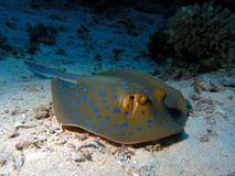 Bluespotted Stringray Stock Foto