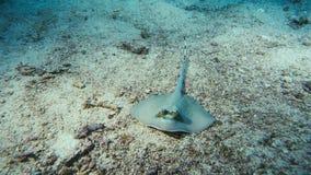 Bluespottedpijlstaartrog die in het zand wordt verborgen royalty-vrije stock afbeeldingen