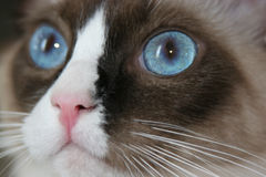 The Bluest Eye. Close-up of purebred Ragdoll kitten's face Royalty Free Stock Photos