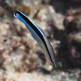 Bluestreak cleaner wrasse fish in water of tropical sea near the Royalty Free Stock Photo