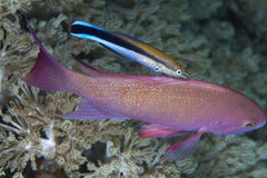 Bluestreak Cleaner Wrasse  works on Psuedoanthias Stock Images