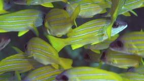 Bluestripe攫夺者在红海苏丹珊瑚的Lutjanus kasmira  股票录像