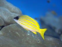 bluestripe热带鱼的攫夺者 图库摄影