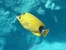 Bluestripe Butterflyfish (kikakapu) Stock Photography