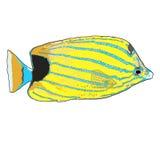 Bluestripe-Butterflyfish-Vektorillustration Lizenzfreie Stockfotos