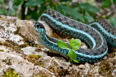 Bluestripe Garter Snake. A Bluestripe Garter Snake in its natural habitat Stock Photography