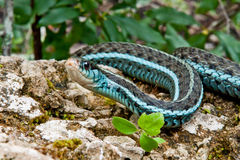 Bluestripe Garter Snake. A Bluestripe Garter Snake in its natural habitat Stock Images